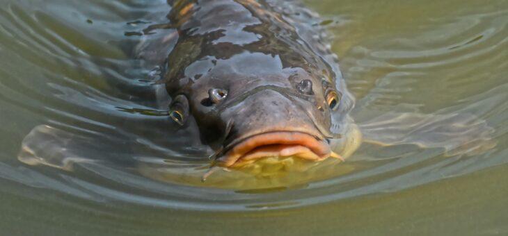 Wil jij op karper gaan vissen? Zo wordt het een succes
